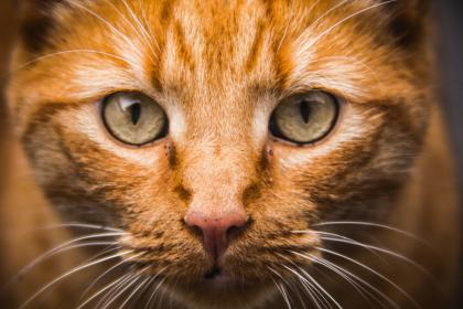 cat, eyes, whiskers, pet, animals