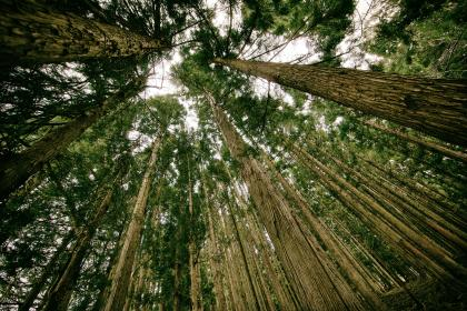 trees, forest, woods, nature, leaves, branches, tree trunks, bark
