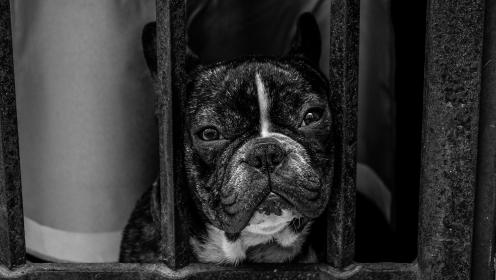 black and white, dog, pet, pug, animal, grill, cage, monochrome