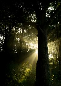 sunbeams, forest, woods, nature, trees