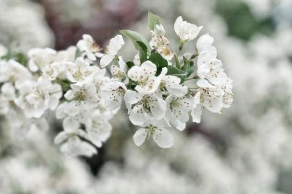 flowers, nature, blossoms, branches, stems, stalk, white, petals, bokeh, outdoors, garden