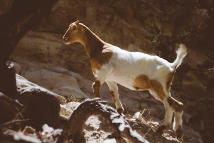 free photo of goat  animal