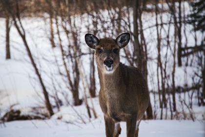 deer, animal, wildlife, forest, snow, winter, cold, weather, ice, nature, outdoor