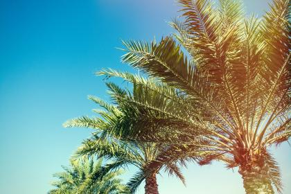 palm, tree, plant, nature, blue, sky, sunny