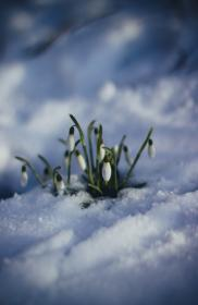 flower, green, leaf, plant, nature, outdoor, snow, winter