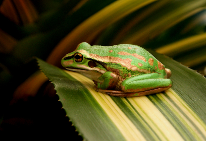 frog,  leaf,  green,  resting,  animal,  wild,  nature,  eye,  ecosystem,  croak,  leap,  amphibian,  biology,  tropical,  toad