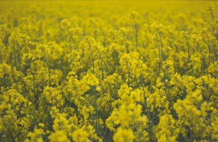 field, flowers, yellow, spring, summer, nature