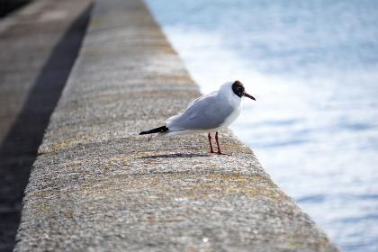 seagull, dove, pigeon, bird, animal, baywalk, seashore, water