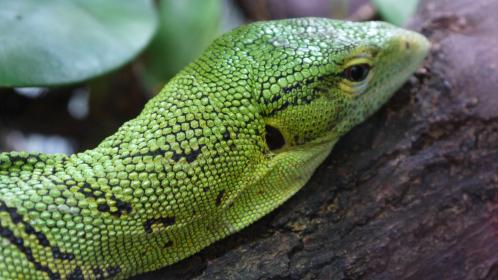 iguana, lizard, wood, branch, green, leaf, reptiles, forest, animals, pet, scales