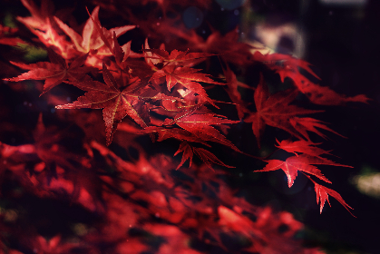 maple, leaves, trees, forest, nature, outdoors, hiking, foliage, autumn, red, organic, plants