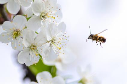 white, flower, blossoms, bloom, garden, petals, insect, bee, animal