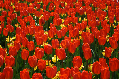 tulips,  background,  flower,  red,   petals,   nature,   garden,   spring,   bloom,   blossom,   flora,   field,   plants,  wallpaper