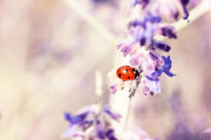 free photo of lavender  flower