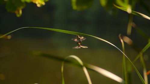 dragonfly, dragonflies, insects