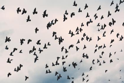 sky, clouds, nature, birds, flying, animal