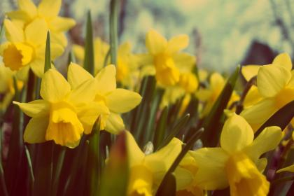 yellow, daffodils, flowers, nature, garden