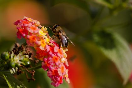 bee, insect, animal, blur, pink, flower, plant
