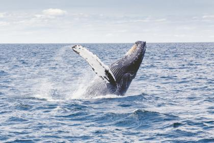 whale, fish, swimming, ocean, sea, water, animals, blue, sky