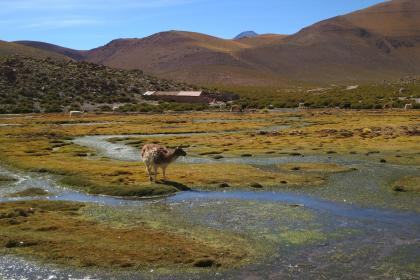 Geyser el Tatio, Chile, animals, country, rural, grass, fields, water, mountains, hills, nature