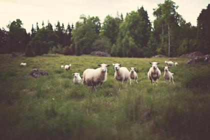sheep, animals, fields, farm, country, rural, grass, trees, nature, forest, logs, lumber
