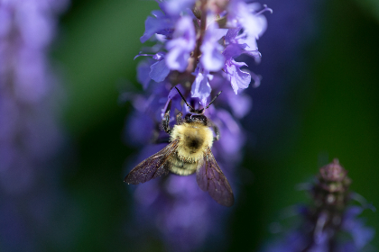 bee,   flower,   macro,   purple,   flowers,   petals,   pollen,   spring,   nature,   pollination,   garden,   detail,   insect,   wings,   natural,  outdoors, close up