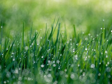 nature, grass, green, water, drops, droplets, dew