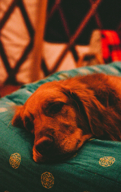 retriever,  dog,  sleeping,  bed,  happy,  tired,  animal,  pet,  red,  window