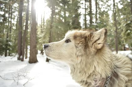 animals, dog, wolf, adorable, gorgeous, canine, nature, forest, trees, snow, light