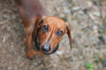 dachshund,   dog,   cute,   animal,   brown,   canine,   eyes,   looking,   fur,   little,   mammal,   outdoors,   pet,   portrait,   puppy