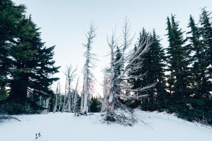 trees, forest, snow, winter, cold, sky, nature, outdoors, christmas