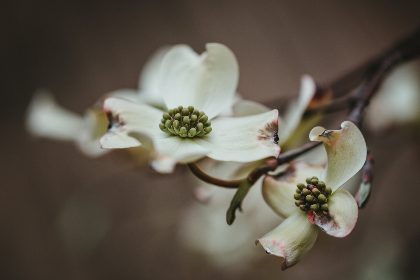 dark,   flower,   background,   white,   closeup,   macro,   bokeh,   beautiful,   pretty,   petals,   pollen,   organic,   bloom,   blossom,   botany,   nature,  twig