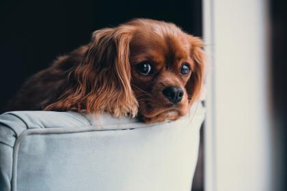 puppy, animal, dog, cute, sofa, house, home, fur, brown