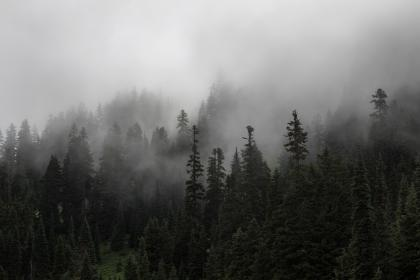 pine, tree, forest, plants, nature, fog, cold, weather