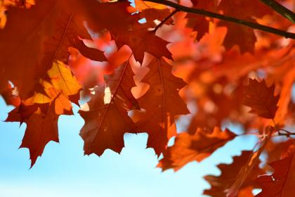 nature, leaves, maple, stems, veins, bold, red, colors, fall, autumn, sky, blue