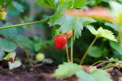 strawberry, farm, garden, field, nature, plant, green, leaf, agriculture, backyard