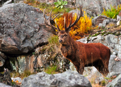 stag,   deer,   antlers,   autumn,   winter,   fall,   fur,   red,   forest,   wood