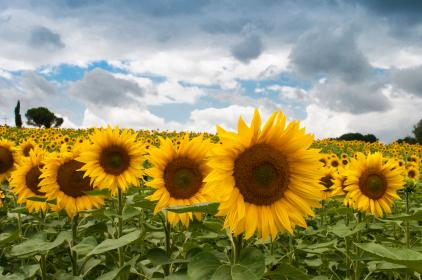 sunflowers, garden, fields, yellow, sky, clouds