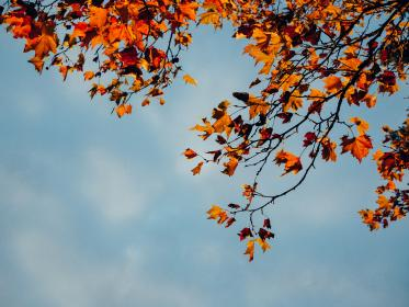 red, leaves, branch, trees, fall, autumn, blue, sky, sunshine, nature