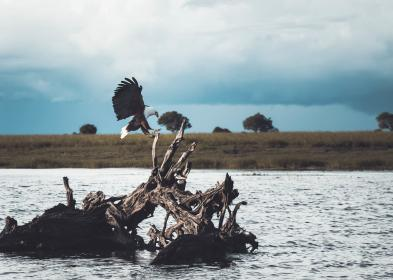 animal, bird, eagle, hunting, feather, flying, plants, grass, tree, trunk, old, water, lake, sky, clouds