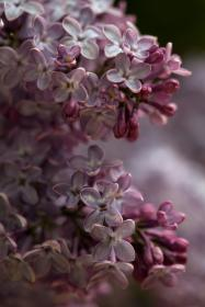 flowers, lilac, nature, wild, spring, summer