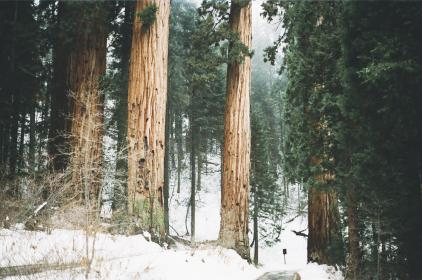 trees, forest, woods, nature, snow, cold, branches, tree trunks, bark