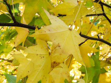 yellow, leaves, branches
