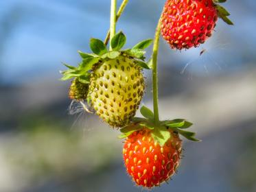 red, strawberries, plant