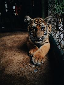 tiger, animal, zoo, cage