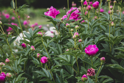 free photo of  blossoms    garden