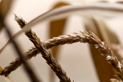 wheat,   background,   autumn,   nature,   grass,   agriculture,   grain,   organic,   harvest,   golden,   farm,   crop,   fall,  straw,  hay,  macro