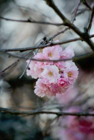 nature, plants, branches, pink, flower, petals, bloom