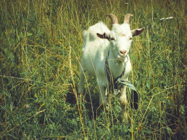 free photo of animal  goat