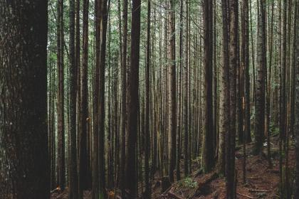 plants, trees, pine, forest, nature, mountain, grass, soil, trunk