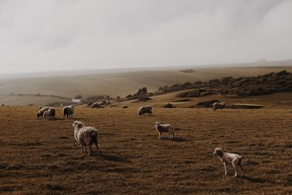 sheep, lamb, ram, pet, animal, herd, green, field, nature, highland, cloud, sky